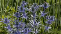 Flachblatt-Mannstreu - Eryngium planum in einem Garten