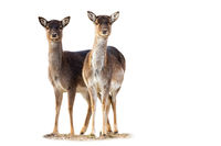 Two fallow deer does standing on grass isolated on white background.