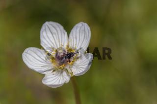 Sumpfherzblatt  'Parnassia palustris'