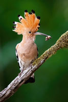 Alert eurasian hoopoe sitting on a diagonal moss covered twig from in summer