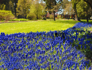 A flower bed of blue flowers in a park