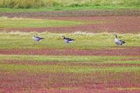 Graugaense auf einer Salzgraswiese mit herbstlich verfaerbtem Queller