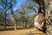Old Oak tree with a burl in a park at spring