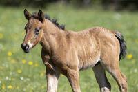 Mischling Pferd