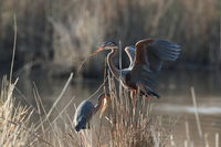 Purple Heron (Ardea purpurea), Baden-Wuerttemberg, Germany