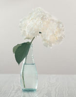 Beautiful hydrangea in a vase on a light background