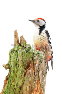 Middle spotted woodpecker sitting on stump isolated on white background.