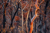 Burnt and charred bush land in Australia after bush fires