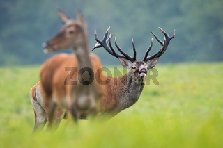 Massive red deer stag sniffing air on meadow in rutting season