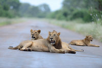 Lion family in the wilderness