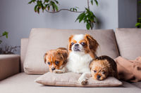 The three beautiful thoroughbred Pekingese at home