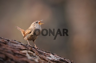 Tiny eurasian wren, troglodytes troglodyte, singing in spring forest