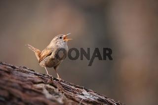 Tiny eurasian wren, troglodytes troglodyte, singing in spring forest