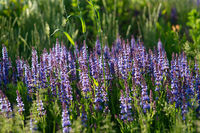 blue lavender bushes illuminated by the evening summer sun in Zaryadye Park in Moscow. Selective focus macro shot with shallow DOF