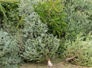 Tannenbaumentsorgung nach dem Weihnachtsfest