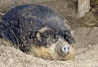 Schlafendes ungarisches  Wollschwein