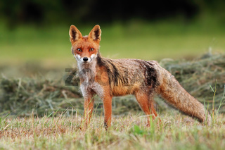 Attentive red fox facing camera on a freshly harvested hay field in summer.