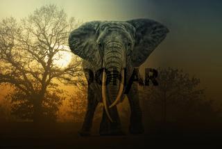 Afrikanischer Elefant im Sonnenaufgang
