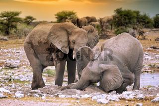 Elefanten stauben sich ein auf Termitenhuegel, Etosha-Nationalpark, Namibia, (Loxodonta africana) | elephants at a termite hill, Etosha National Park, Namibia, (Loxodonta africana)