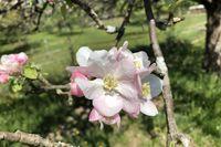 Blüten am Apfelbaum