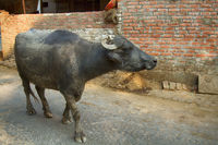 Water Buffalo in the mud