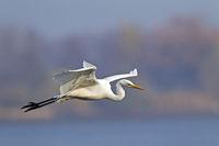 Silberreiher haben einen langsamen Flug, der Hals ist dabei s-foermig angewinkelt