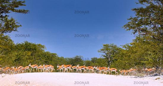 Springböcke queren die grelle weiße Piste im Etosha-Nationalpark, Namibia | Springboks crossing the white street at Etosha National Park near Etosha pan, Namibia