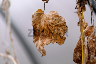 Withered cucumber leaf close-up in the greenhouse