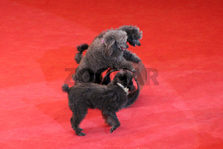 Trained poodles performing in circus arena. Amusing dogs