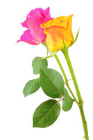 Two beautiful Roses (Rosaceae) isolated on white background, including clipping path.  Germany