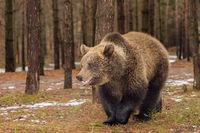 brown bear in winter forest, European wildlife