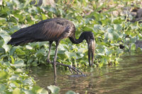 African openbill feeding on the overgrown shore of Lake Victoria