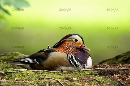 Cute mandarin duck drake lying on the ground in summer with copy space above.