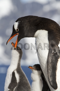 Gentoo penguin female that feeds the chick in the nest on a sunny day