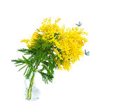 Beautiful mimosa flower blossom in glass vase, butterflies isolated on white background, macro. Shallow depth. Spring floral mixed art. Artistic image. Pastel toned. Springtime closeup