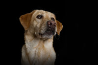 Labrador retriever dog on black background