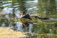 Eared grebe on its nest in the water