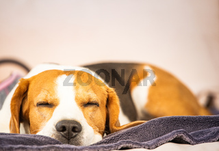 Hound Beagle dog sleeping outdoors on a garden sofa. Canine concept