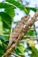 panther chameleon, furcifer pardalis, Madagascar wildlife