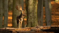 Fallow deer standing in woodland and looking around in autumn rutting season