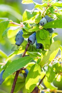 Honeysuckle berries at branch  - Lonicera Caerulea kamtschatica. Blue Honeyberry
