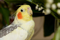 A yellow corella parrot with red cheeks and long feathers
