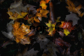 Fall Foliage: Closeup of a bright colorful autumn leaves on a dark forest floor in the rain.