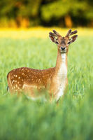 Attentive fallow deer stag looking to camera on field in vertical composition