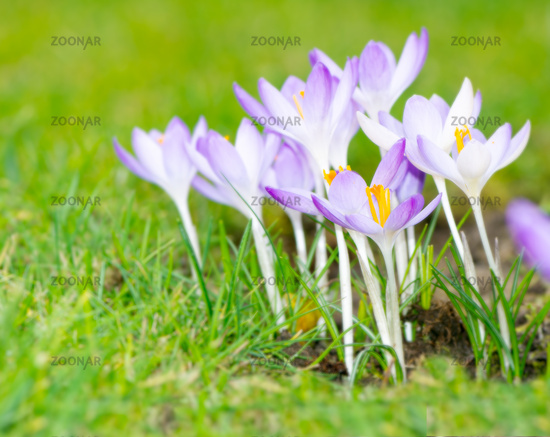 Crocus flowers in a meadow
