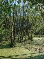Bäume und Entengrütze im Sumpfgebiet Zarth bei Treuenbrietzen