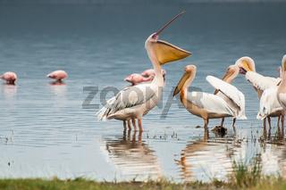 Pelican with Open Bill