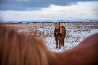 Islandpferde auf der Koppel in Island