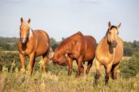 A group of three brown horses standing on top of a grass covered field