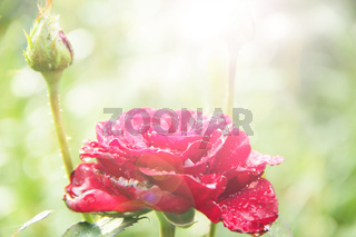 Red rose in garden in sunlights on blurry green background